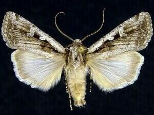 http://mothphotographersgroup.msstate.edu/species.php?hodges=10751