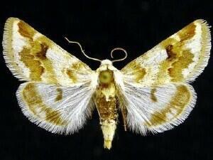 http://mothphotographersgroup.msstate.edu/species.php?hodges=11188