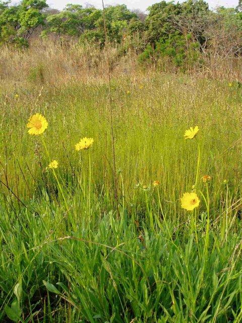 http://www.zimbabweflora.co.zw/speciesdata/images/16/160570-2.jpg