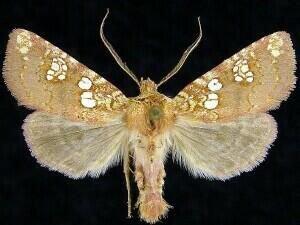 http://mothphotographersgroup.msstate.edu/species.php?hodges=10637