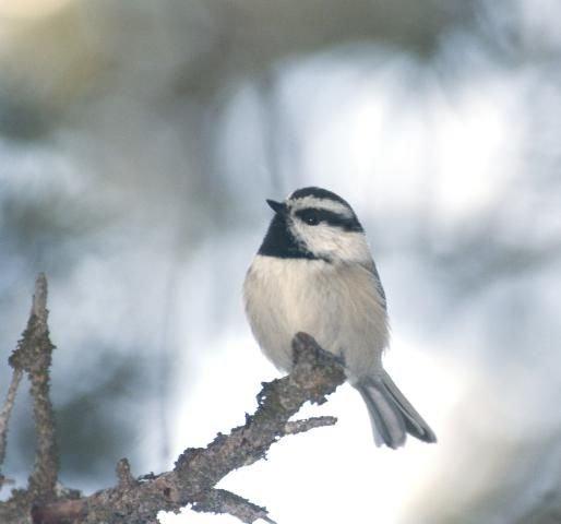 http://animaldiversity.ummz.umich.edu/site/resources/phil_myers/ADW_birds_3_4_03/mtn_chickadee5961.jpg/medium.jpg