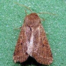 http://mothphotographersgroup.msstate.edu/species.php?hodges=10495