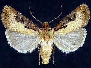 http://mothphotographersgroup.msstate.edu/species.php?hodges=10652