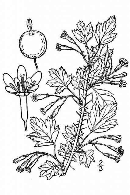 http://plants.usda.gov/java/largeImage?imageID=grse7_001_avd.tif