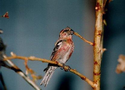 http://csdb.ioz.ac.cn/images/Upload_images/Animalia/Chordata/Aves/Passeriformes/Fringillidae/Loxia/leucoptera/5AD808D3-5B77-4E27-8D72-AF900F741295.jpg