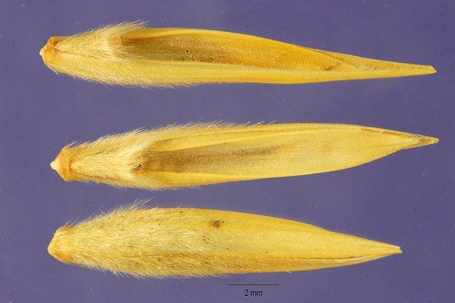 http://plants.usda.gov/gallery/large/elar_002_lhp.jpg