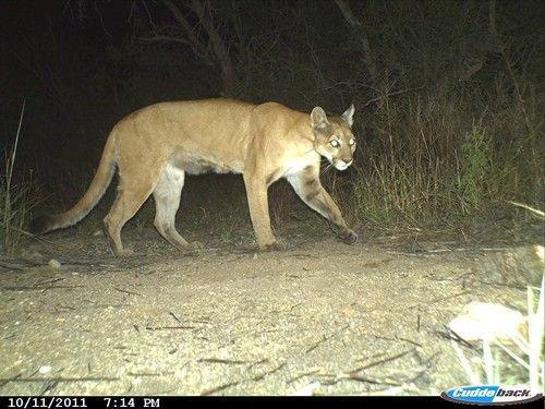 cougar et puma
