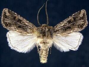 http://mothphotographersgroup.msstate.edu/species.php?hodges=10824