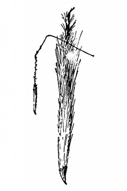 http://plants.usda.gov/java/largeImage?imageID=stca2_001_avd.tif