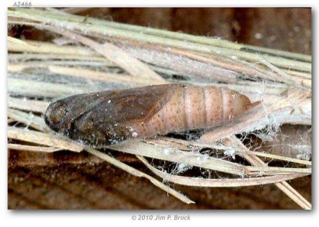 http://butterfliesofamerica.com/images/Hesperiidae/Hesperiinae/Hesperia_juba/Hesperia_juba_pupa_Chimney_Creek_Tulare_Co_CA_July_2000_JPB.jpg