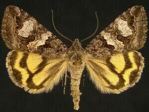 http://mothphotographersgroup.msstate.edu/species.php?hodges=8632