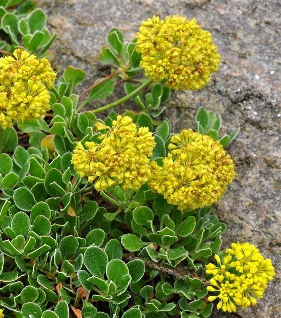 http://www.biopix.com/eriogonum-umbellatum-var-aridum_photo-100896.aspx