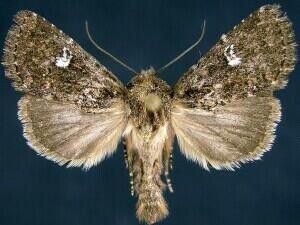 http://mothphotographersgroup.msstate.edu/species.php?hodges=9588