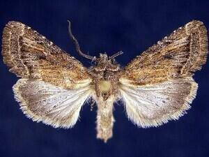 http://mothphotographersgroup.msstate.edu/species.php?hodges=10549