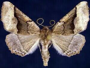 http://mothphotographersgroup.msstate.edu/species.php?hodges=6759