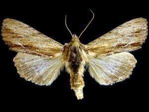 http://mothphotographersgroup.msstate.edu/species.php?hodges=9325