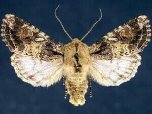 http://mothphotographersgroup.msstate.edu/species.php?hodges=10514