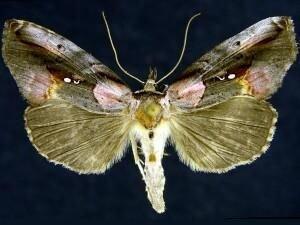 http://mothphotographersgroup.msstate.edu/species.php?hodges=8905
