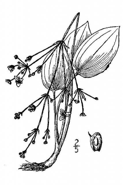 http://plants.usda.gov/java/largeImage?imageID=albr10_001_avd.tif