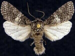 http://mothphotographersgroup.msstate.edu/species.php?hodges=10513