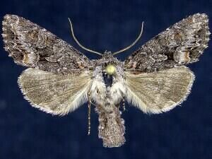 http://mothphotographersgroup.msstate.edu/species.php?hodges=10310
