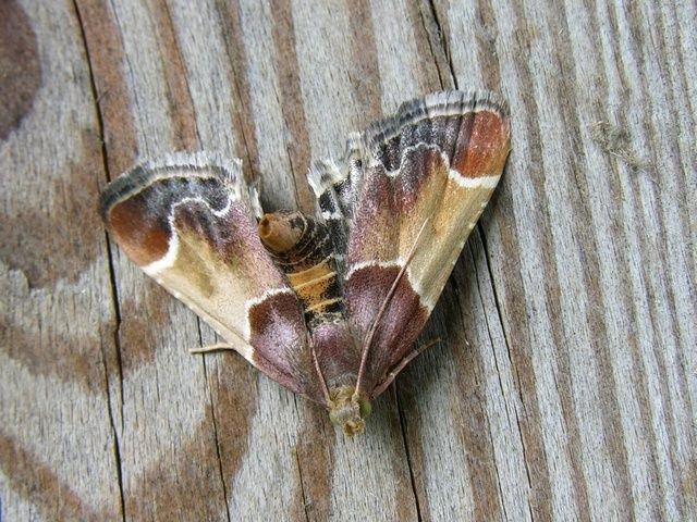 http://www.biopix.com/meal-moth-pyralis-farinalis_photo-14072.aspx
