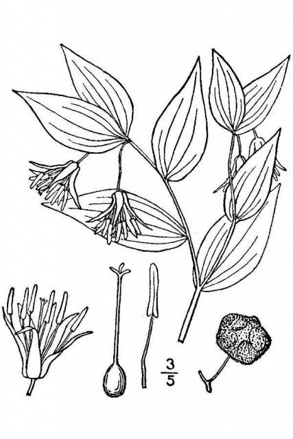 http://plants.usda.gov/java/largeImage?imageID=ditr2_001_avd.tif