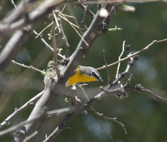 http://animaldiversity.ummz.umich.edu/site/resources/phil_myers/ADW_birds_3_4_03/yellowbreastedchat0954.jpg/medium.jpg