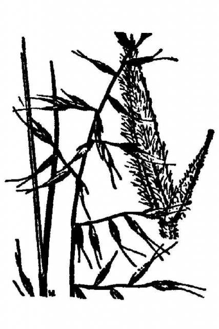 http://plants.usda.gov/java/largeImage?imageID=feea_001_avd.tif