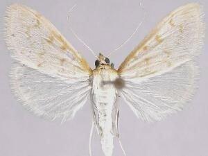 http://mothphotographersgroup.msstate.edu/species.php?hodges=4970