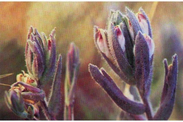 http://plants.usda.gov/gallery/large/coma5_001_lhp.jpg