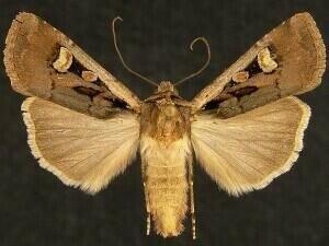 http://mothphotographersgroup.msstate.edu/species.php?hodges=10817