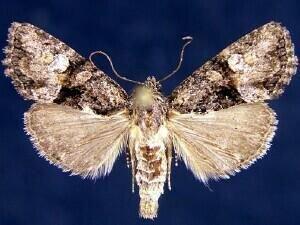 http://mothphotographersgroup.msstate.edu/species.php?hodges=9413.4