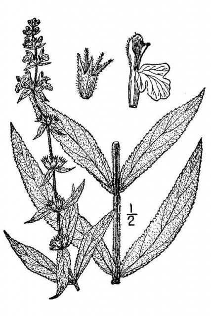 http://plants.usda.gov/java/largeImage?imageID=star5_001_avd.tif