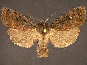http://mothphotographersgroup.msstate.edu/species.php?hodges=9882