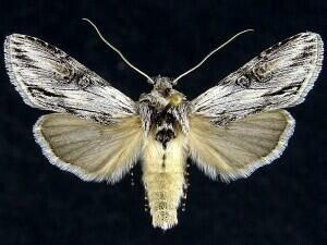 http://mothphotographersgroup.msstate.edu/species.php?hodges=10207