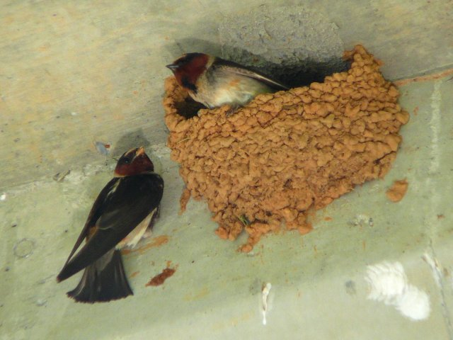 http://commons.wikimedia.org/wiki/File:Cliff_Swallow-27527-1.jpg