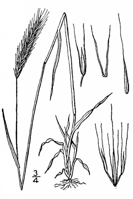 http://plants.usda.gov/java/largeImage?imageID=hono_001_avd.tif