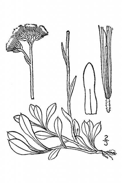 http://plants.usda.gov/java/largeImage?imageID=anne80_001_avd.tif
