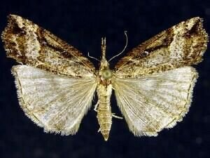 http://mothphotographersgroup.msstate.edu/species.php?hodges=8463