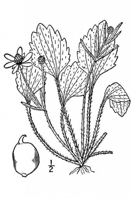 http://plants.usda.gov/java/largeImage?imageID=raov2_001_avd.tif