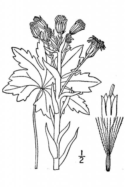 http://plants.usda.gov/java/largeImage?imageID=pepa31_001_avd.tif