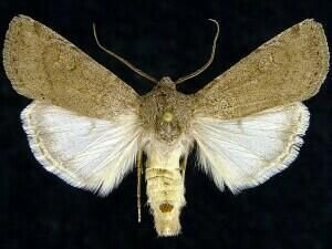 http://mothphotographersgroup.msstate.edu/species.php?hodges=10776