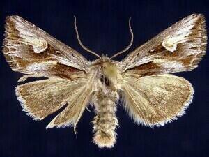 http://mothphotographersgroup.msstate.edu/species.php?hodges=9583