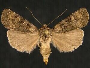 http://mothphotographersgroup.msstate.edu/species.php?hodges=10850