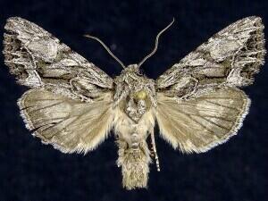 http://mothphotographersgroup.msstate.edu/species.php?hodges=9356