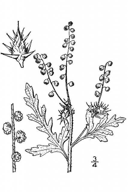 http://plants.usda.gov/java/largeImage?imageID=gaac2_001_avd.tif