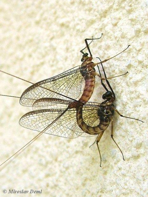 http://www.biolib.cz/en/image/id37064/