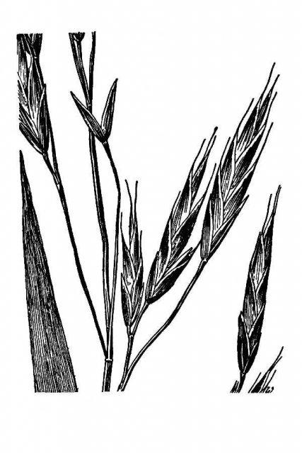 http://plants.usda.gov/java/largeImage?imageID=bral6_001_avd.tif