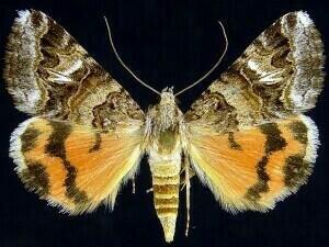 http://mothphotographersgroup.msstate.edu/species.php?hodges=8616